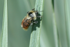 Mixed Bumblebee (Bombus mixtus)