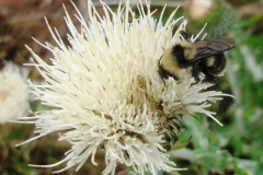 Black Tail Bumble Bee (Bombus melanopygus) on Prairie Thistle (Cirsium canescens, a native thistle species.
