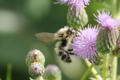 Yellow Head Bumble Bee (Bombus flavifrons)