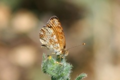 Mylitta Crescent (Phycoides mylitta), ventral