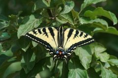 Western Tiger Swallowtail (Papilio rutulus)