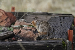 Columbian Ground Squirrel (Spemophilus columbianus)