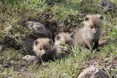 Mountain Red Fox kits (Vulpes vulpes)