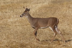 White-tailed Deer Buck (Odocoileus virginianus)