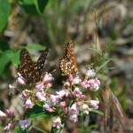 Chalcedona Checkerspots (Euphydryas chalcedona) on spreading dogbane