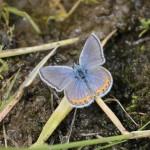 Acmon Blue (Icaricia acmon)