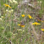 Chalcedona Checkerspots (Euphydryas chalcedona)