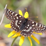 Chalcedona Checkerspot (Euphydryas chalcedona), dorsal