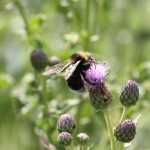 Western Bumble Bee (Bombus occidentalis)