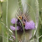 Nevada Bumble Bee (Bombus nevadensis) on teasel