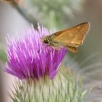 Woodland Skipper (Ochlodes sylvanoides)