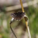 Persius Duskywing (Erynnis persius)