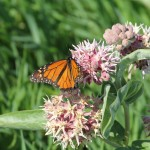Male Monarch (Danaus plexippus) on showy milkweed