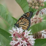 Monarch (Danaus plexippus) on showy milkweed