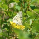 Mountain Parnassian (Parnassius smintheus)