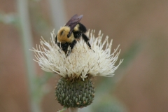 Brown-belted Bumble Bee (Bombus griseocollis) on Prairie thistle (Cirsium canescens), a native thistle species
