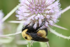 Half-black Bumble Bee (Bombus vagans)