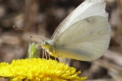 Cabbage white butterfly, Tule Lake, 8/31/13